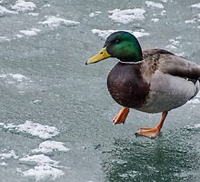 Mallard Drake Carefully Treading on Ice by Gerda Grice
