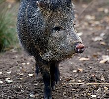 Peccary by GP1746