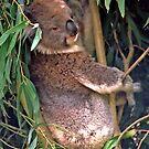 Koala by AnnDixon