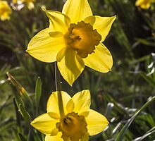 Daffodil Flowers by Pixie Copley LRPS