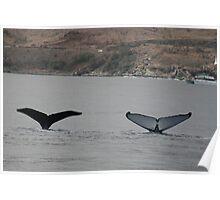 Competing Humpbacks In Hawaii Poster