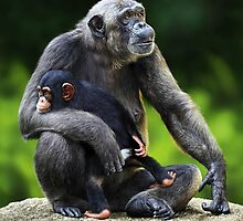 FEMALE CHIMPANZEE WITH YOUNG by DilettantO