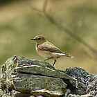 Wheatear by VoluntaryRanger