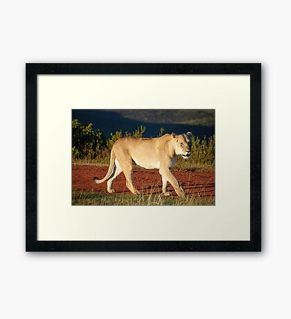 Gondwana Lioness Framed Print