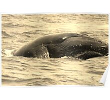 Humpback Whales In Hawaii Poster