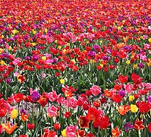 Rainbow Tulip Garden by Jo Nijenhuis