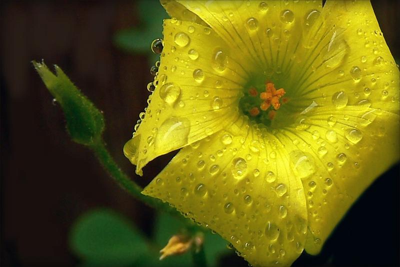 "Said Oxalis the Edible--""I'm Not Afraid of Rain..."" by paintingsheep"