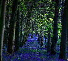 Bluebells by redtree