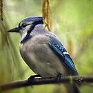 Blue Jay On A Misty Spring Day Square Format by Lois  Bryan
