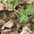 Eastern Garter Snake by sunsetgirl