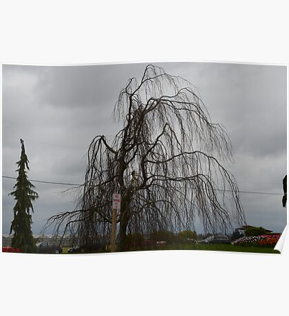 Valley Tree: Skagit Valley, Laconner Washington State Poster