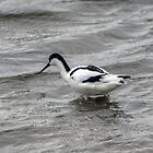Pied Avocet by VoluntaryRanger