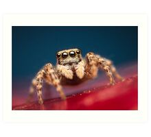 Pseudeuophrys erratica female jumping spider photo Art Print