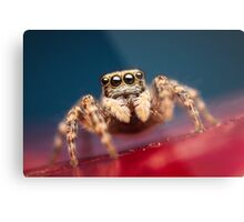 Pseudeuophrys erratica female jumping spider photo Metal Print