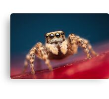 Pseudeuophrys erratica female jumping spider photo Canvas Print