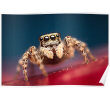 Pseudeuophrys erratica female jumping spider photo Poster
