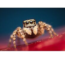 Pseudeuophrys erratica female jumping spider photo Photographic Print