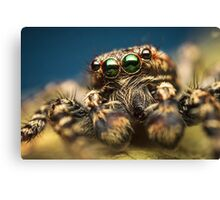 Marpissa muscosa male jumping spider high magnification photo Canvas Print