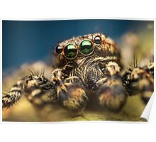 Marpissa muscosa male jumping spider high magnification photo Poster