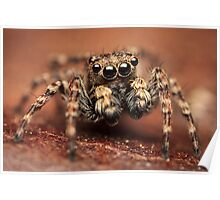 Sitticus pubescens male jumping spider Poster