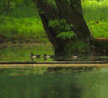 Wood Duck  (Aix sponsa) by NatureGreeting Cards ©ccwri