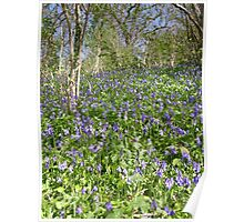 Bank Of Bluebells Poster