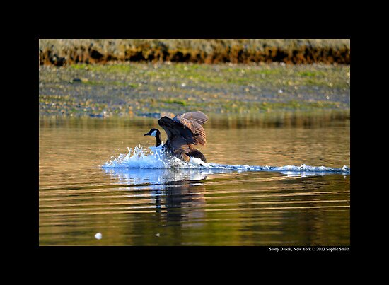 Branta Canadensis - Canadian Goose Landing On Porpoise Channel - Stony Brook, New York by © Sophie W. Smith