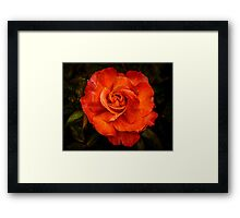 Aged Red Rose Framed Print