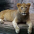Young Lion by Ellen  Price - Greenwald