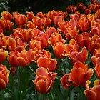 Orange Tulips by Dani LaBerge
