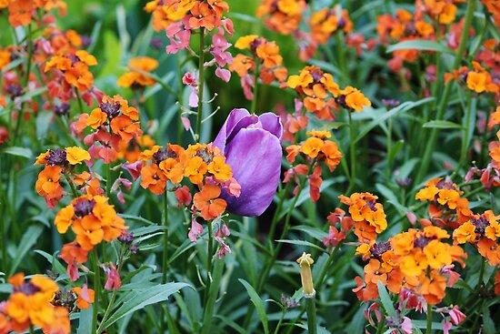Hidden Tulip by Cynthia48