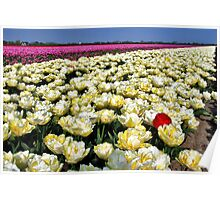 More tulips... Poster