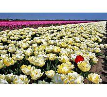 More tulips... Photographic Print