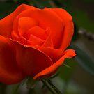 Rose by Colin  Ewington
