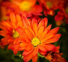 Orange Chrysanthemum by mlphoto