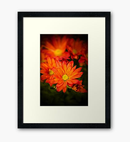 Orange Chrysanthemum Framed Print