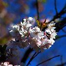 White Blossom by John Dalkin