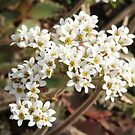 Early Saxifrages -Saxifrage virginiensis by Tracy Faught