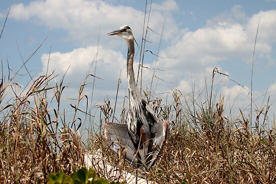 Blue Heron by Ginger  Hamilton