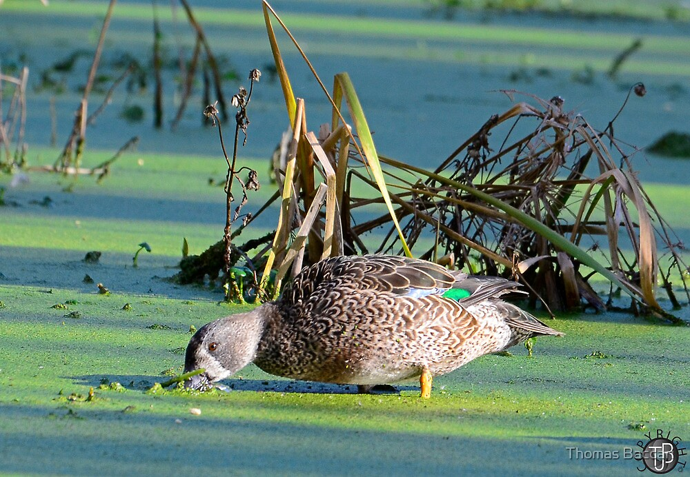 Blue Wing Teal Nose Deep In Duck Weed by TJ Baccari Photography