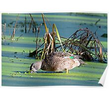 Blue Wing Teal Nose Deep In Duck Weed Poster