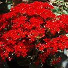 Red kalanchoe by ♥⊱ B. Randi Bailey