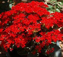 Red kalanchoe by ♥⊱ B. Randi Bailey