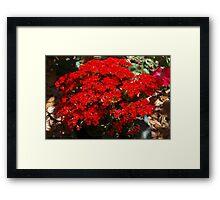 Red kalanchoe Framed Print