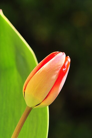 Tulip  by Heather Thorsen