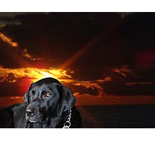 The Labrador Retriever Photographic Print