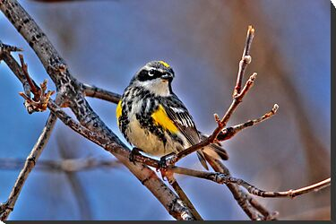 Yellow Rumped Warbler by Larry Trupp