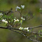 Dogwood Blossoms I by karineverhart
