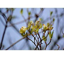 Dogwood Blossoms III Photographic Print