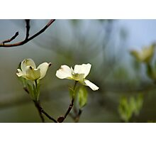 Dogwood Blossoms IV Photographic Print